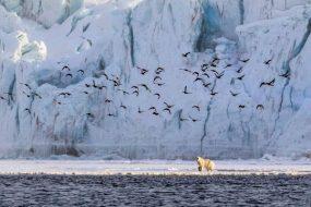 Sommaren med Svalbards isbjörnar