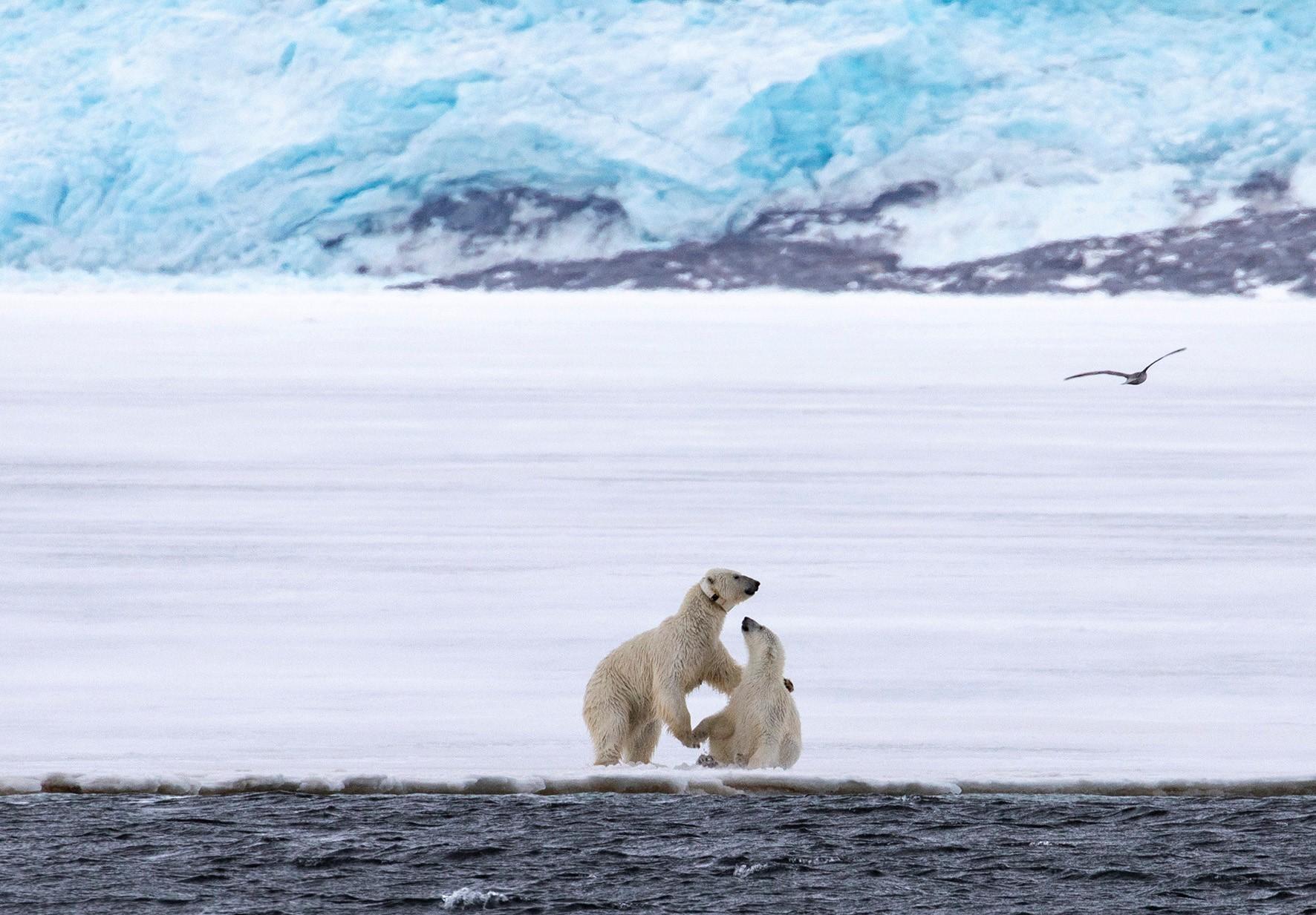 Isbjörnar på Svalbard