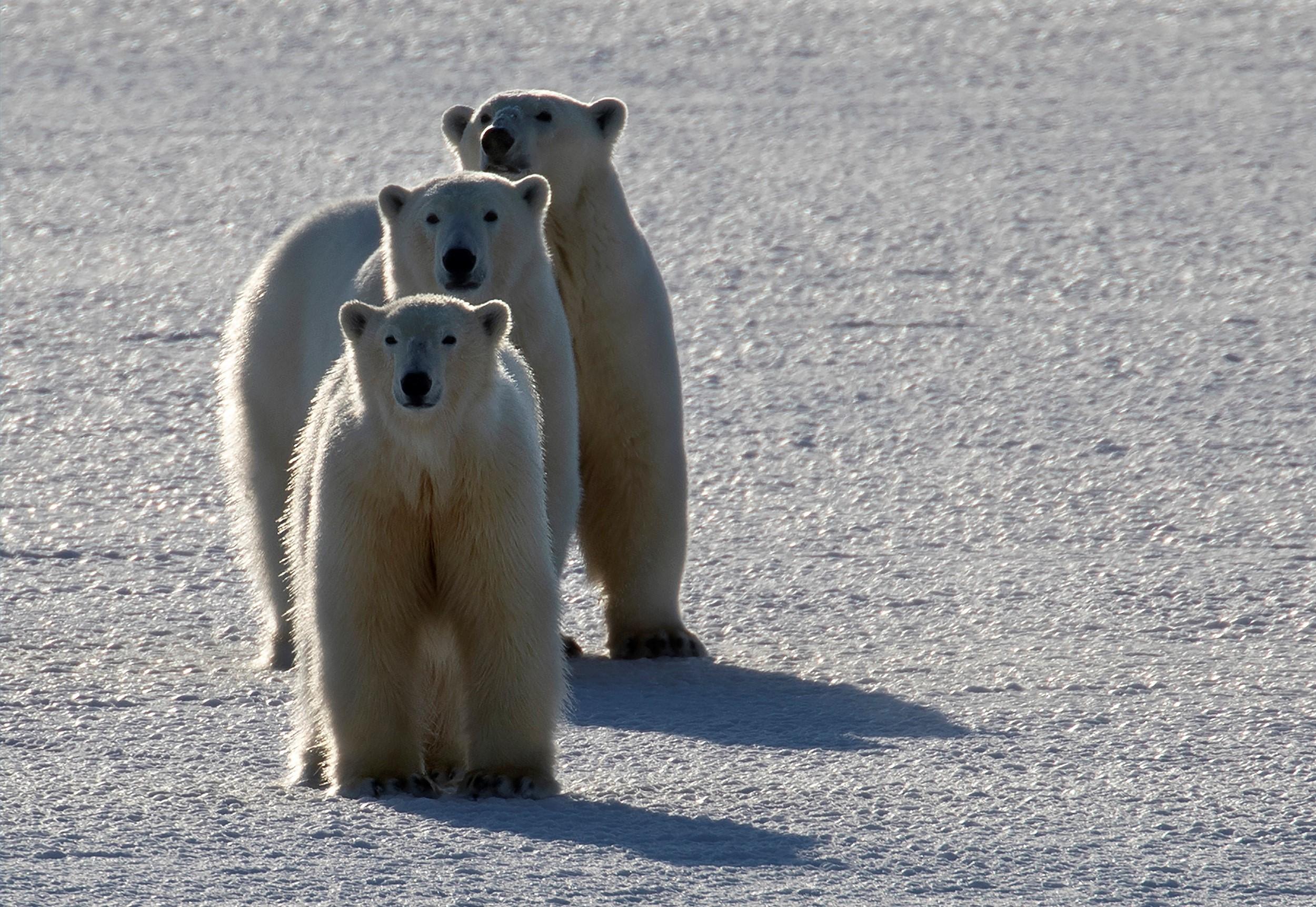 Isbjörnsmamma med ungar